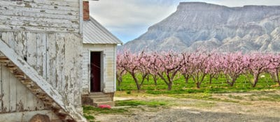 In bloom peach tree orchard in western Colorado.