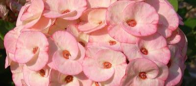 jewish_bloom
