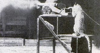 Elsewhere on the behaviorist research scene, a cat learns to fire a cannon.